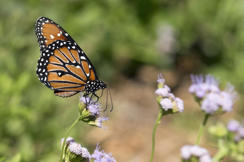 Backyard Butterfly by gaylewood