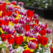 Tulips in Sunshine  - Harlow Carr