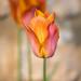 Tulips - Westwick Edge