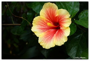 12th May 2018 - Vibrant Hibiscus..