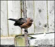 12th May 2018 - Mrs Blackbird