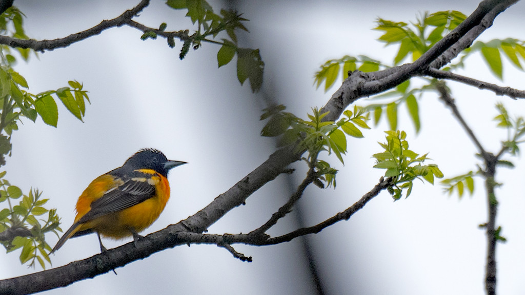Baltimore Oriole on a branch by rminer
