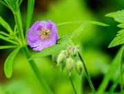12th May 2018 - Wild Geranium P365