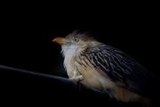 12th May 2018 - Guira cuckoo