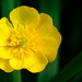 Paimpont 2018: Day 108 - Buttercup