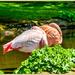 Sleeping Flamingoes