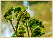 13th May 2018 - Unfurling Fern
