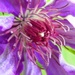 May 14: Clematis