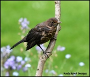 13th May 2018 - Young blackbird