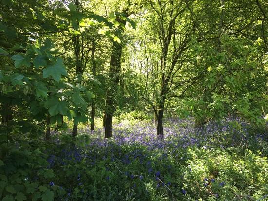 Bluebell Wood by 365projectmaxine