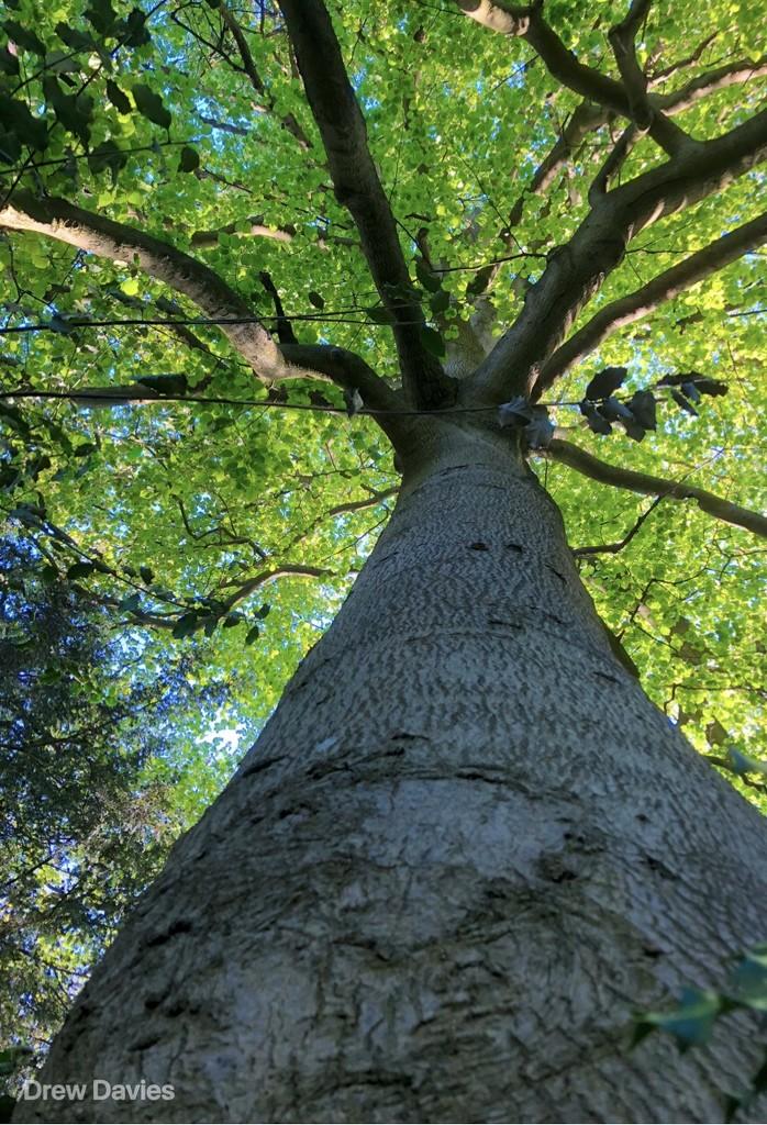 Beech tree by 365projectdrewpdavies
