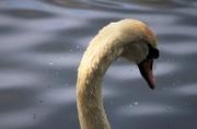 13th May 2018 - Mute Swan