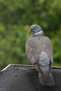 13th May 2018 - Pigeon on the Roof in the Rain