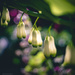 not dicentra by pistache