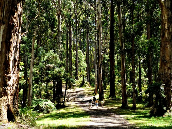 Forest walk down to Olinda Falls by judithdeacon