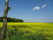 14th May 2018 - rapeseed