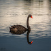 Black Swan Reflection by yorkshirekiwi