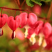 3054-0513 Bleeding Hearts