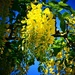 Laburnum by carole_sandford