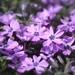 Purple Groundcover