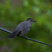 The Return of our Catbirds