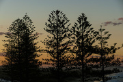 15th May 2018 - dawn coming through the Norfolk pine trees