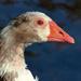 3055-0514 Goose Profile