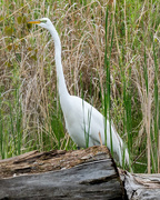 14th May 2018 - Great White Egret Portrait