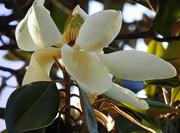 13th May 2018 - Magnificent Magnolia