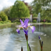 15th May 2018 - iris, sunlight and fountains