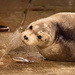 Bearded Seal by lifeat60degrees