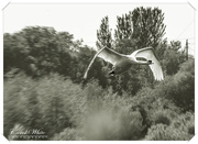 15th May 2018 - Swan In Flight