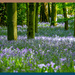 Bluebell Carpet by carolmw
