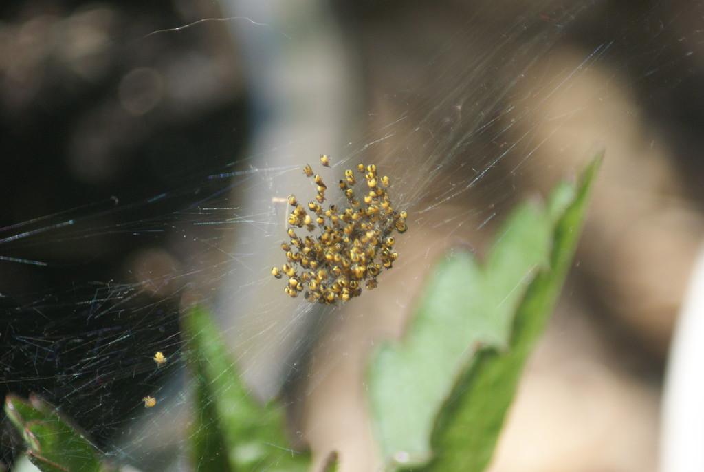 Spiderlings by 365projectmaxine