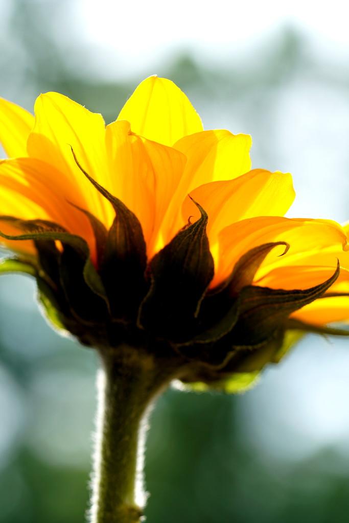 Sunny Flower by sunnygirl