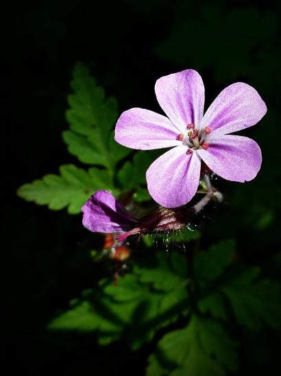 Wild geranium by judithdeacon