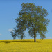 "Lonesome Ash tree in a"" desert"" of rapeseed"