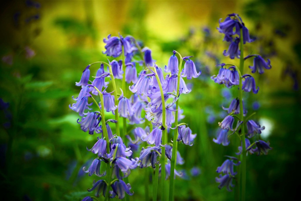Blue Bells by carole_sandford