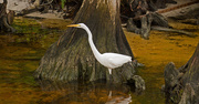 15th May 2018 - Egret on the Prowl!