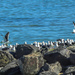 half gulls on the rocks, half ocean