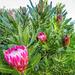 More Proteas
