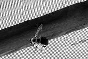 15th May 2018 - Carpenter Bee