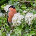 Bull Finch in the May Blossom by pamknowler