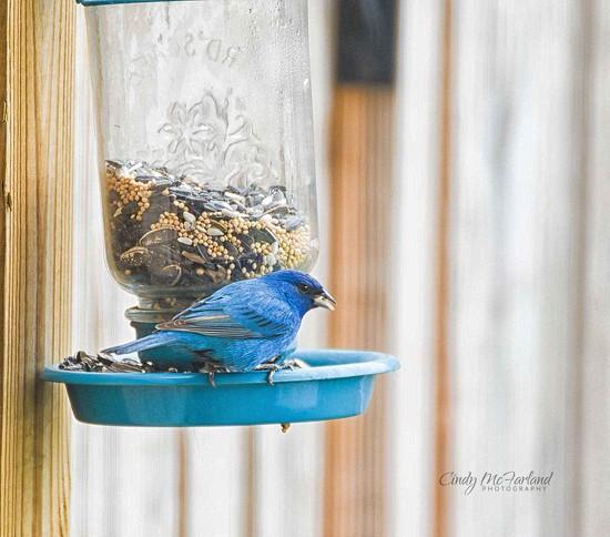 Beautiful Blue Bird by cindymc