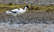 16th May 2018 - My first avocet