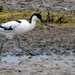 My first avocet