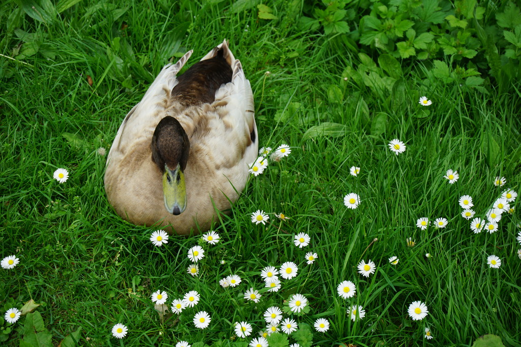 Aylesford Priory: duck in daisies by quietpurplehaze