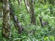 15th May 2018 - Hartsholme Deer