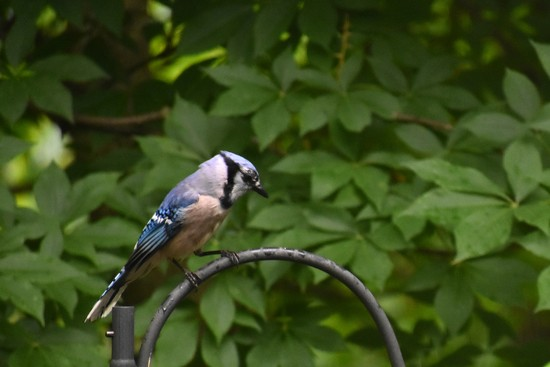 A Blue Jay Kinda Day by alophoto
