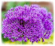 17th May 2018 - Alium